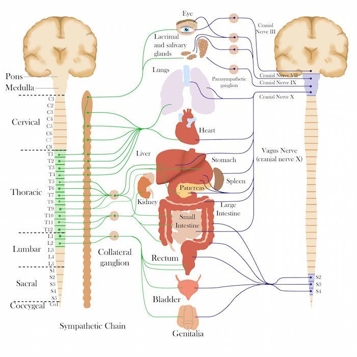 Lesson Summary  You need the autonomic nervous system